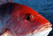 Snapper: One-day federal season likely