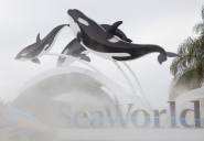 Last generation: SeaWorld ends captive orca breeding and reaction's wild