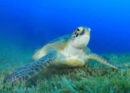 With populations recovering, Feds downlisting green turtles