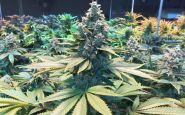 Membership closely guarded by medical pot trade group