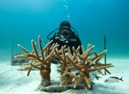 Ocean stewards partner to enhance Caribbean corals