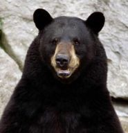 One-week, statewide bear hunt